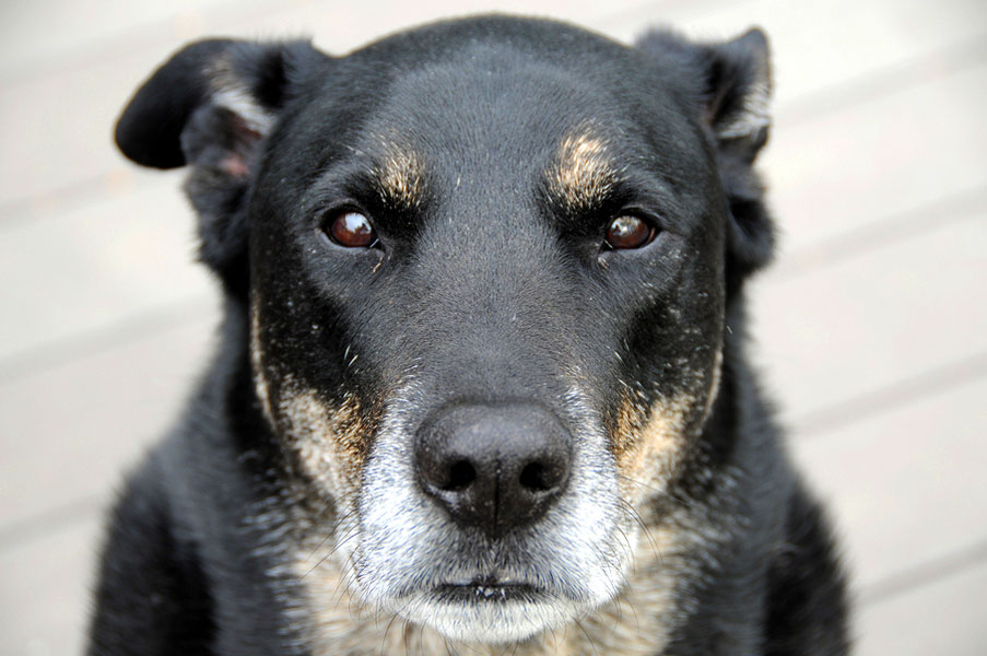 Best Old Friend: Caring for Your Senior Dog